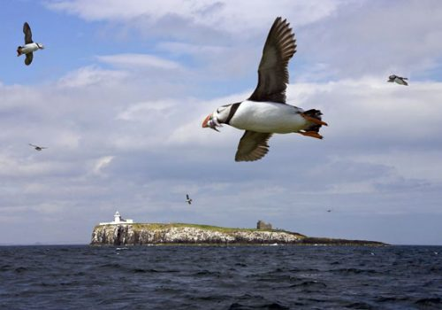 Puffin near the Farne Islands